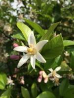 檸檬の花1.JPG